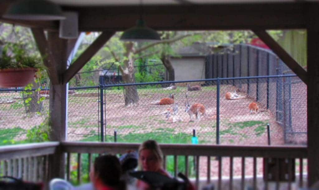 The cafe seating area offer a view of the kangaroo exhibit.