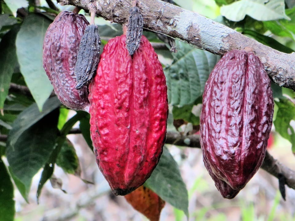 Cocoa beans on the vine.