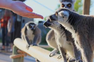 Feeding lemurs.