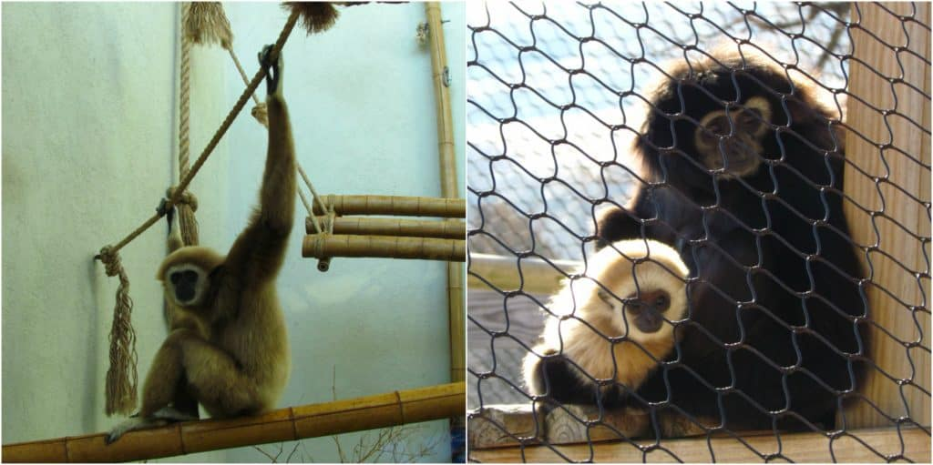 Gibbons are wide awake and keeping a close eye on passerbys.