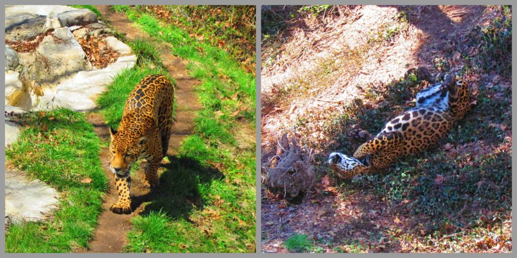 A leopard enjoys exploring his exhibit and rolling in the leaves.