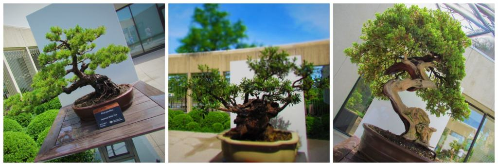 An assortment of bonsai trees can be viewed at the Des Moines Botanical Gardens.