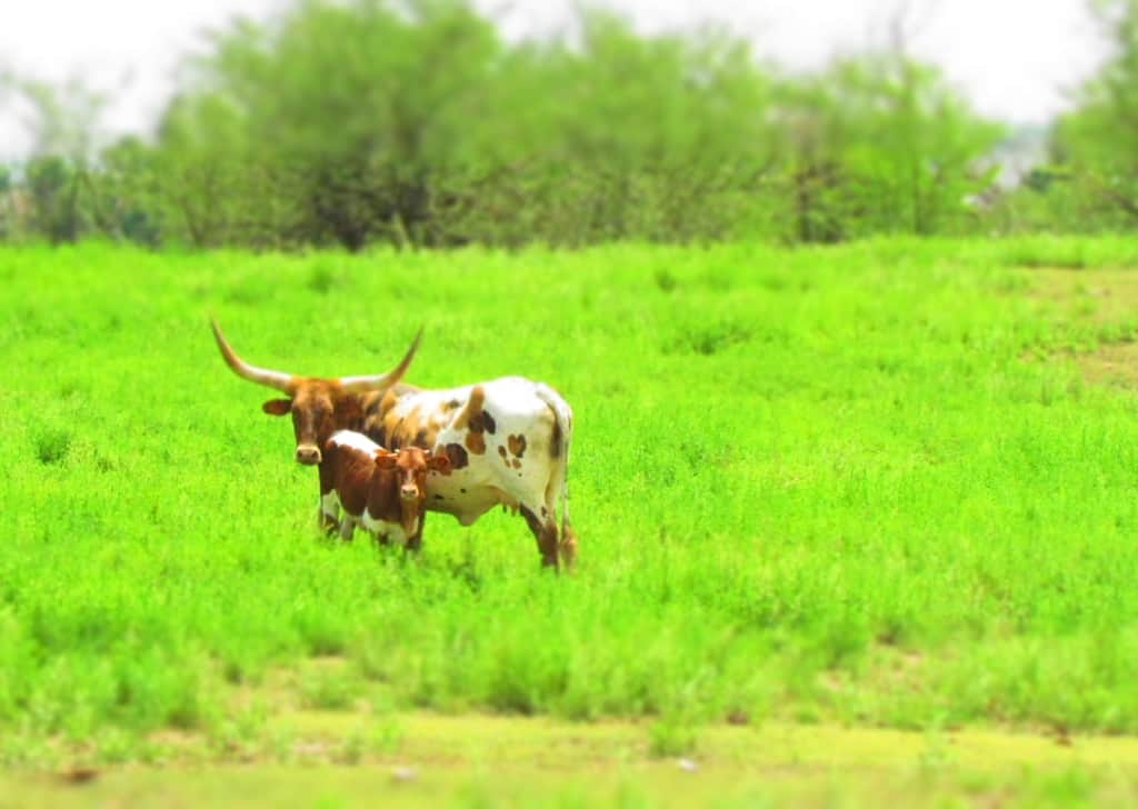 A longhorn and her calf pose for a picture.