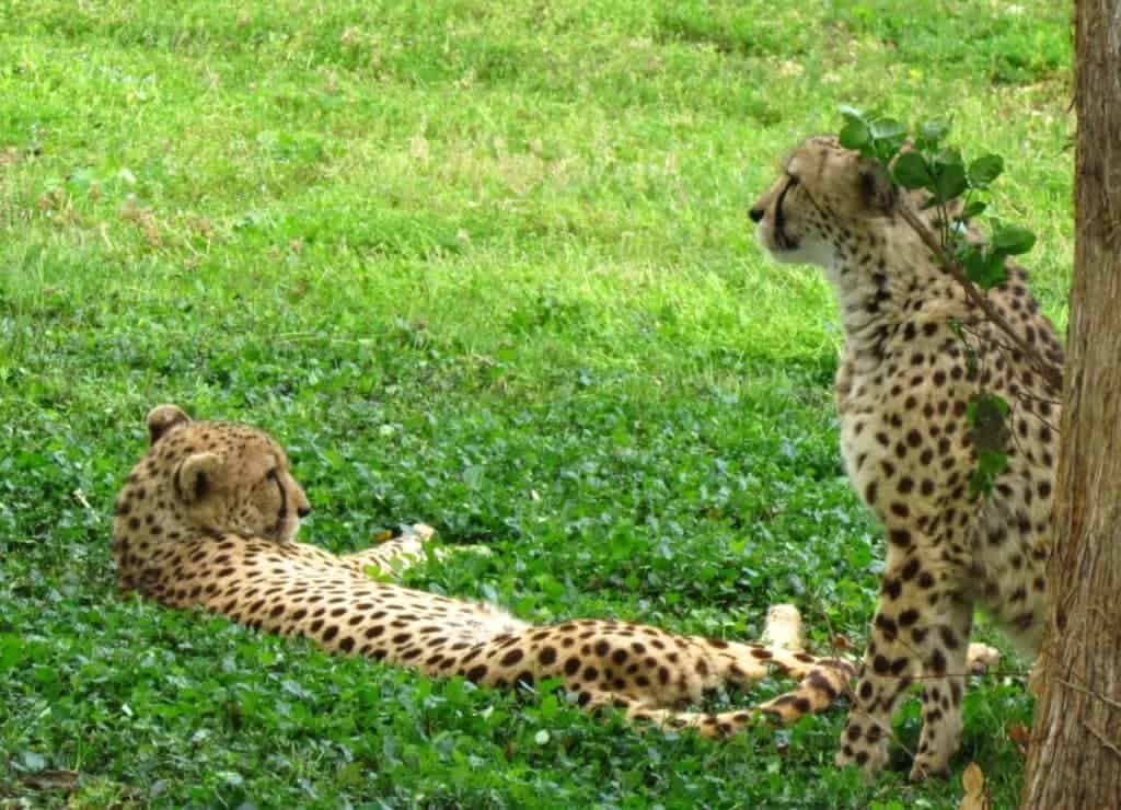 Cheetahs lounge in the shade.