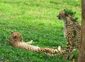 Cheetahs lounge in the shade.