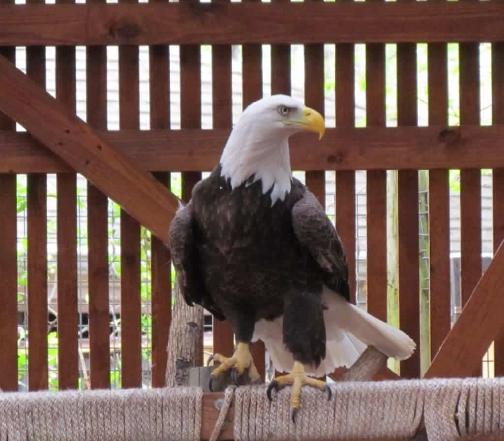 An eagle sits on a roost.