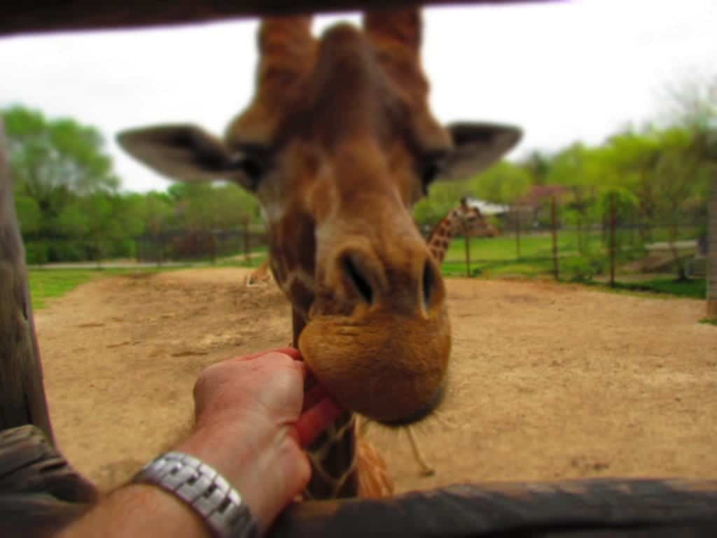 The auther feeds a giraffe.