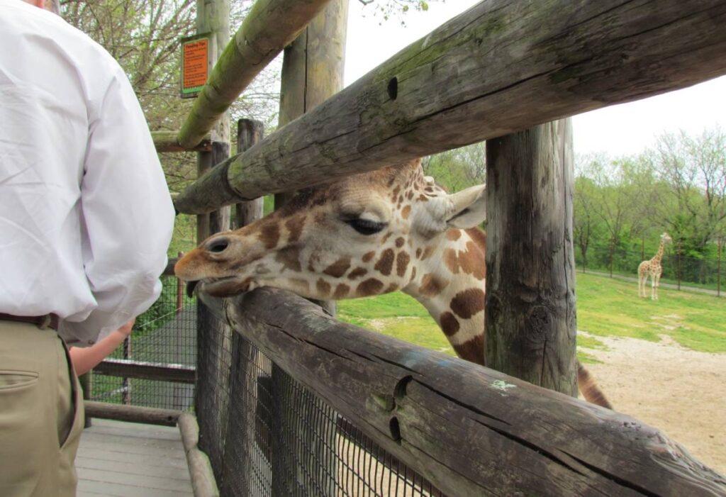 Giraffe waiting for food.