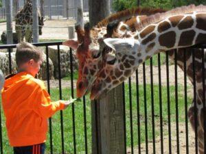 Feeding giraffes.