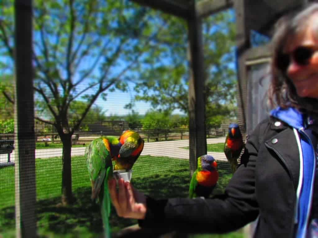 Lorikeets feeding at Tanganyika Wildlife park.