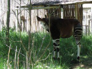 The secretive Okapi is