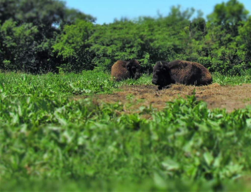 Bison graze in a field.