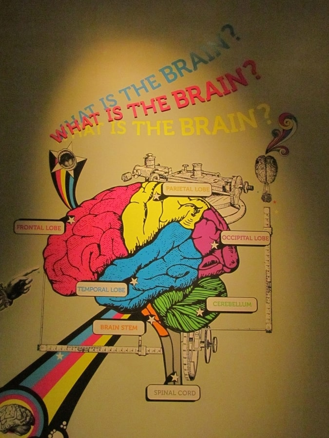 Display highlights sections of the human brain.