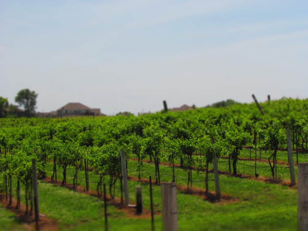 Rowe Ridge Winery is filled with rows of grape vines.