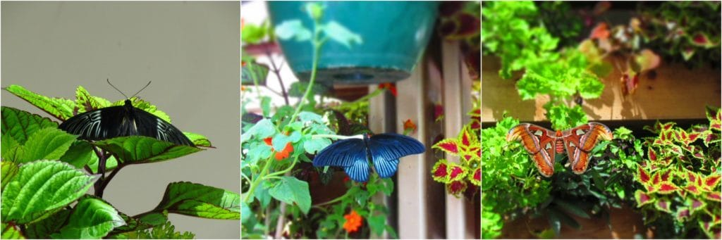 A variety of butterflies and moths are found at Powell Garden's Festival of Butterflies each year.