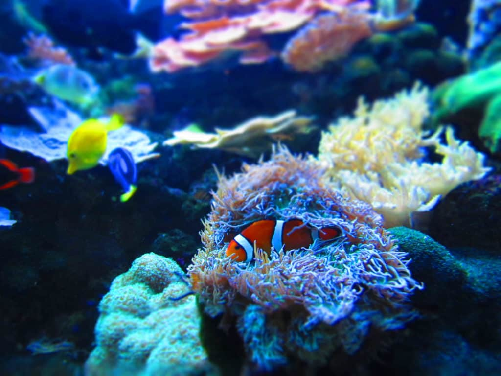 A clown fish rests in the protective tentacles of an anemone.