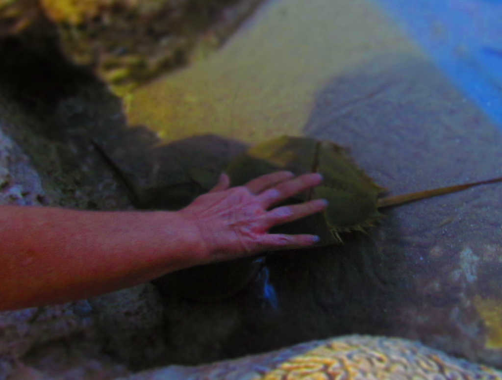 Visitor touches the shell of a horseshoe crab.