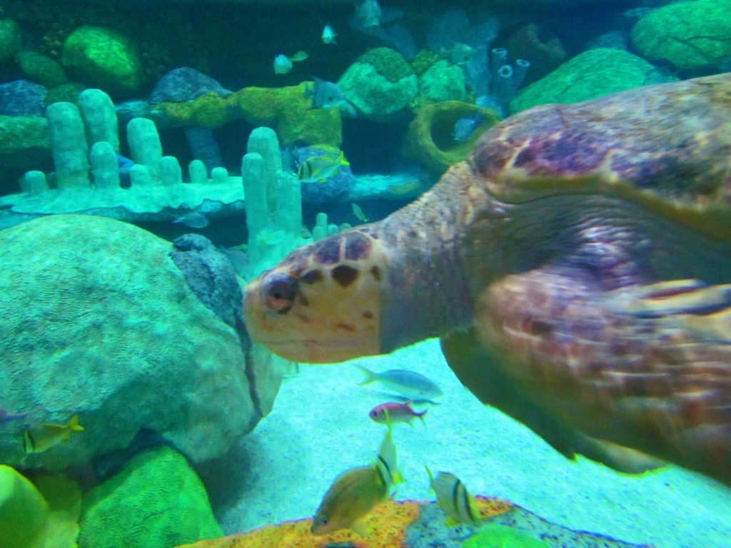 A Loggerhead Sea Turtle glides through the exhibit.