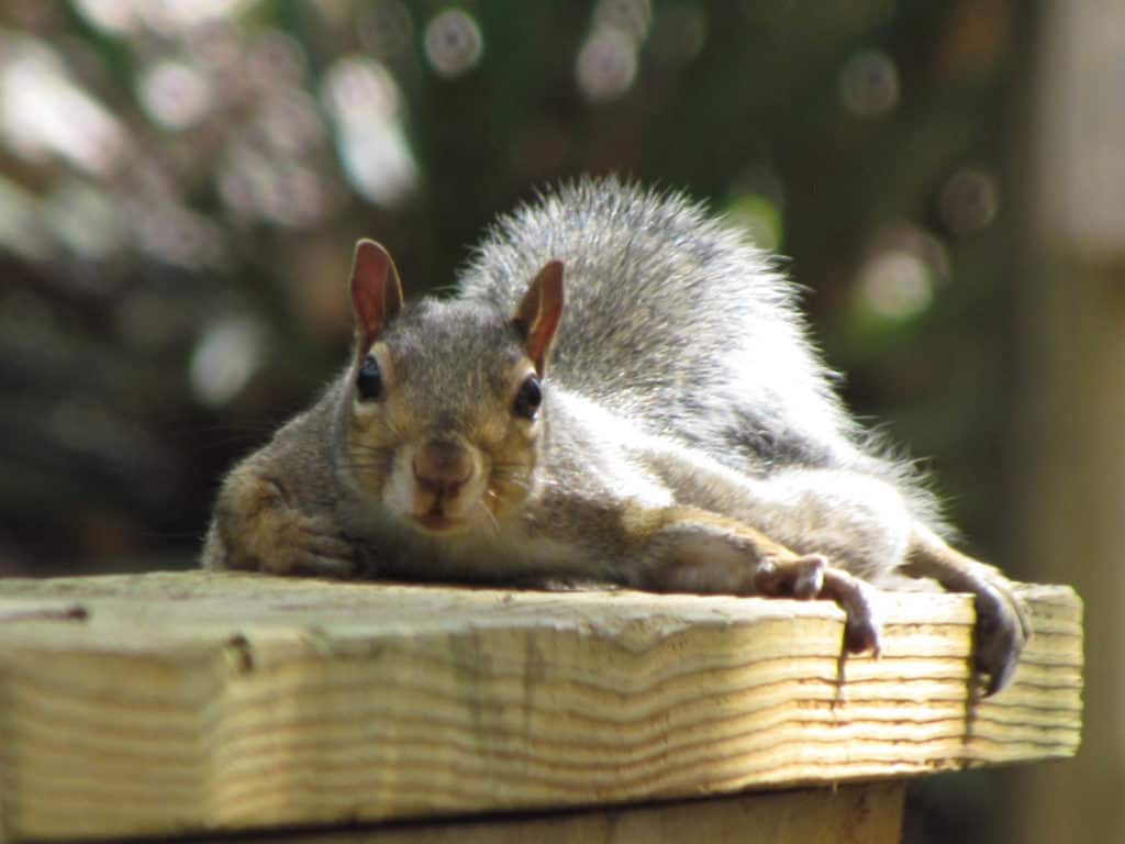 A playful squirrel rests on a handrail.