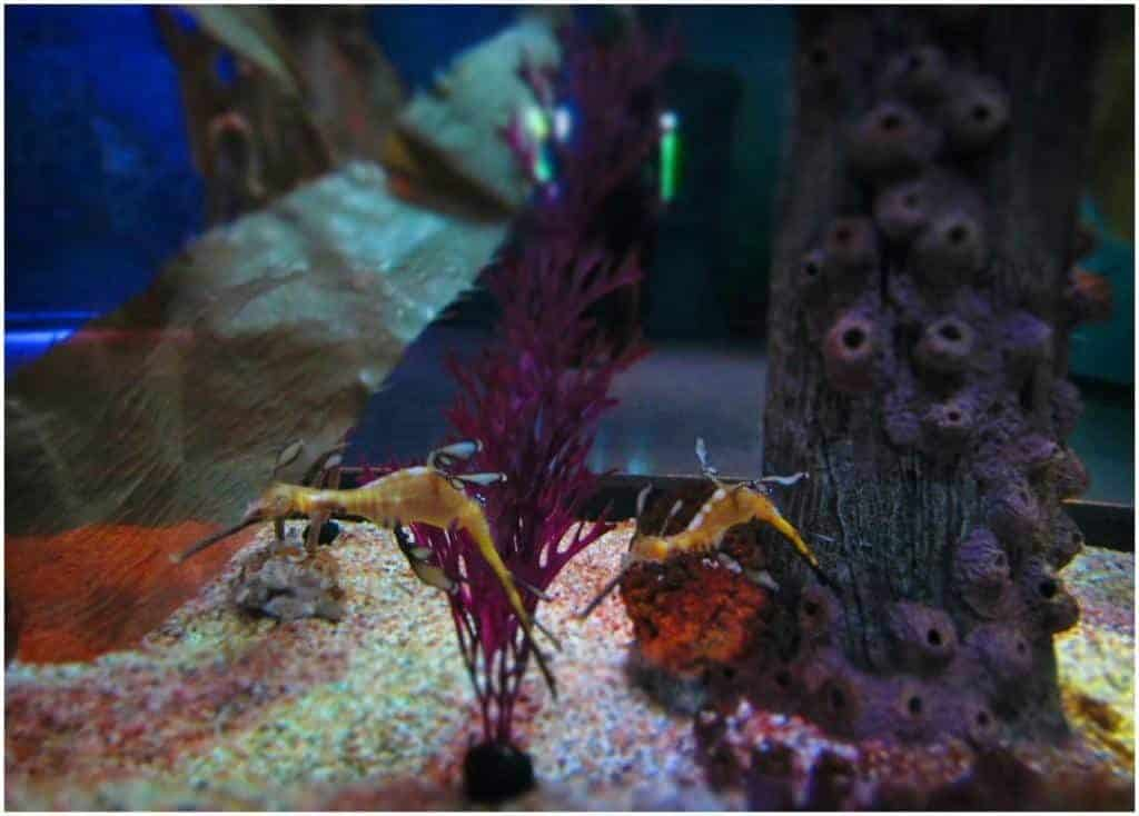 Australian Sea Dragons float on the current in their own tank.