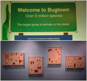 Bugtown is an insect exhibit located in the KU Museum of Natural History.