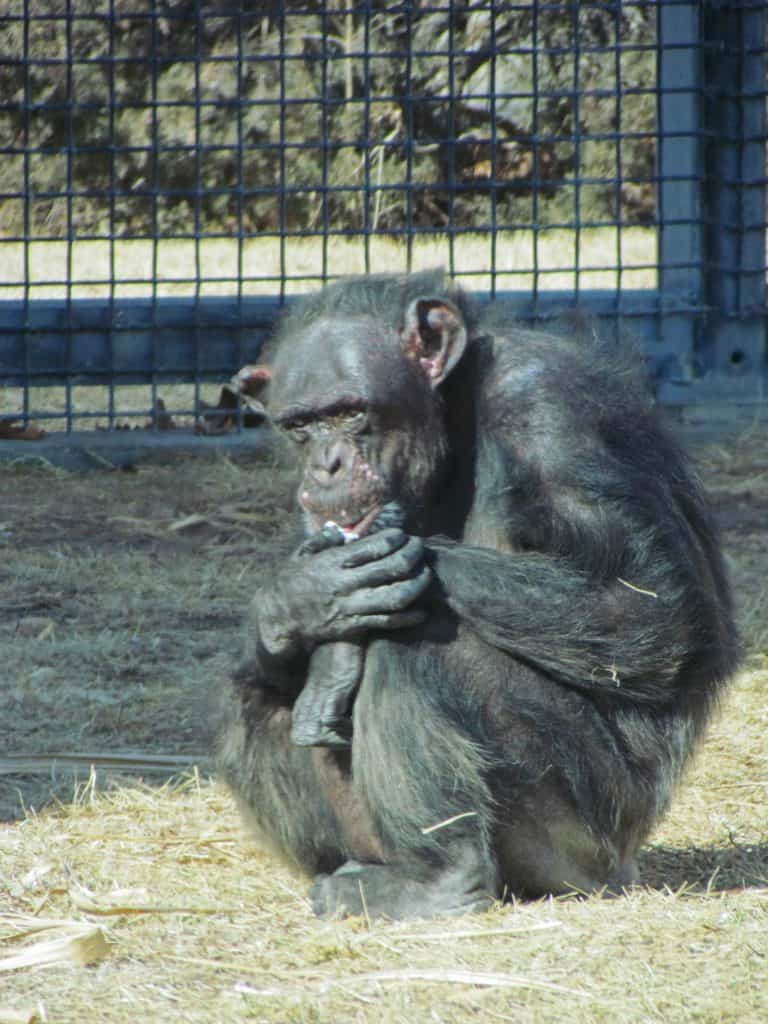 A lone chimpanzee sits in the sunlight at the Sunset Zoo.
