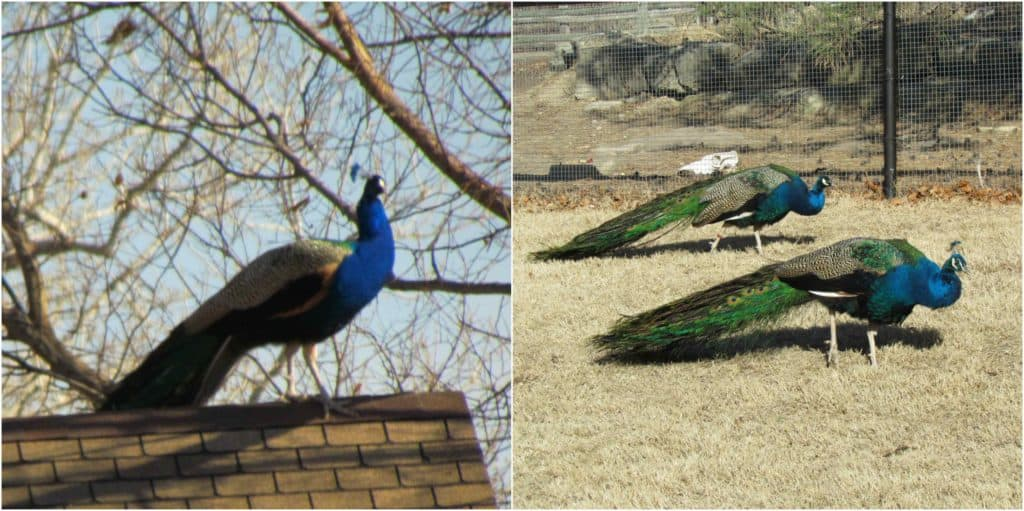 Peacocks strut their colors in the sunshine.