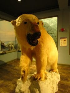 A taxidermied polar bear greets guests to the KU Museum of Natural History in Lawrence, Kansas.