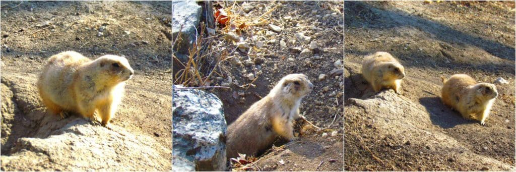 Prairie dogs watch the crowd pass by with caution.