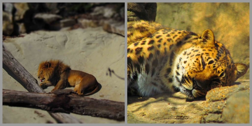 By midday the big cats had all settled in for naps.