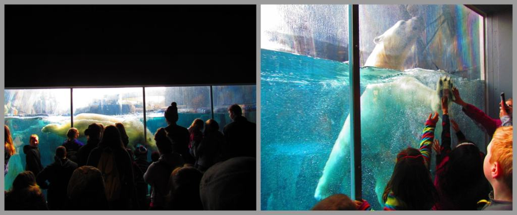 Crowds gather to watch the antics of the polar bear in the glass enclosed pool.