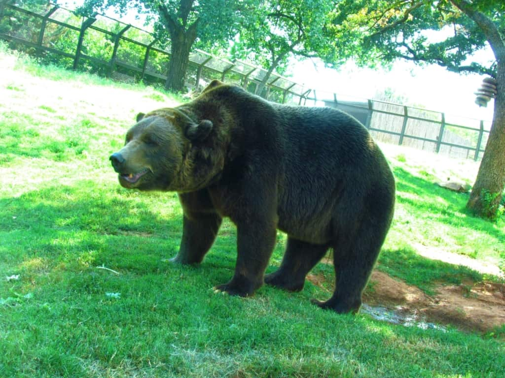 Grizzly bears were roaming their enclosure scouting out food.