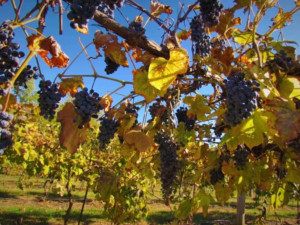Groups of grapes still cling to the vines at Rowe Ridge Vineyards.