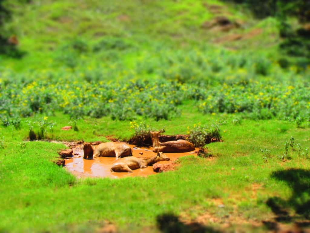 A herd of animals take a mud bath break during the heat of midday.