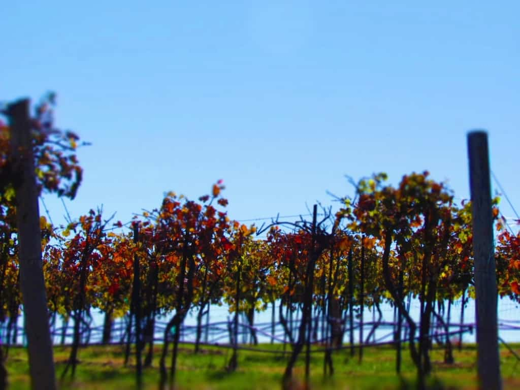 Fall colors have made their way into the vineyard.