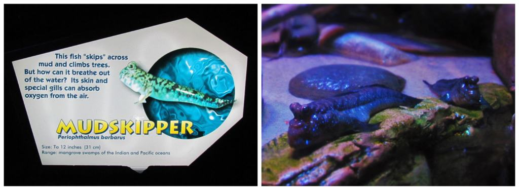 The mudskipper exhibit is one of the educational displays that can be found in Ripley's Aquarium.