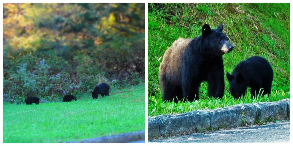 Seeing black near in the Smoky Mountains is not rare, but many visitors miss out on the experience.