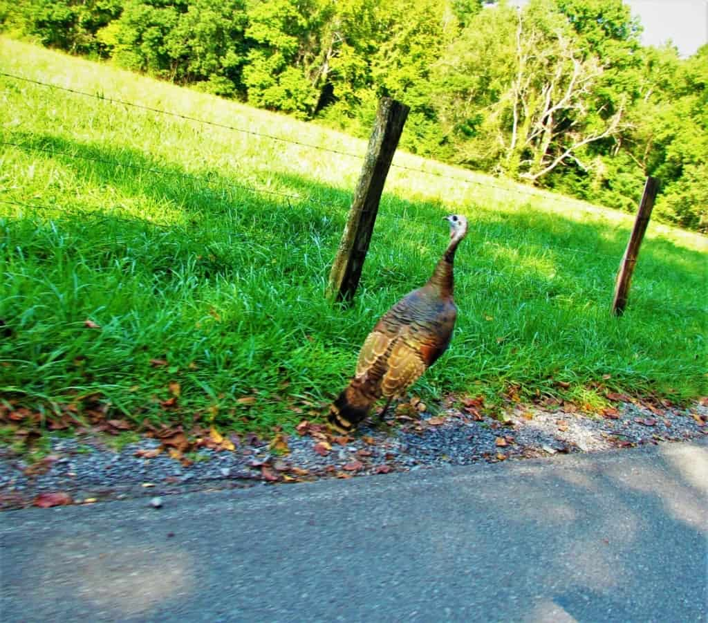 A wild turkey struts along the roadside on the Cades Cove Loop Road in the Great Smoky Mountain National Park.