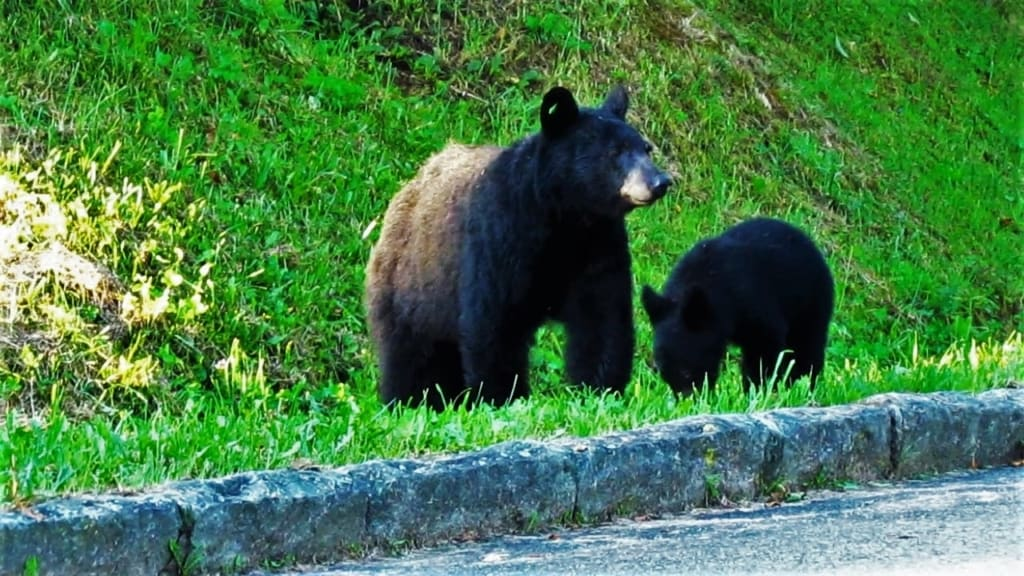 Black bears are an added treat for visitors to the Smoky Mountains.