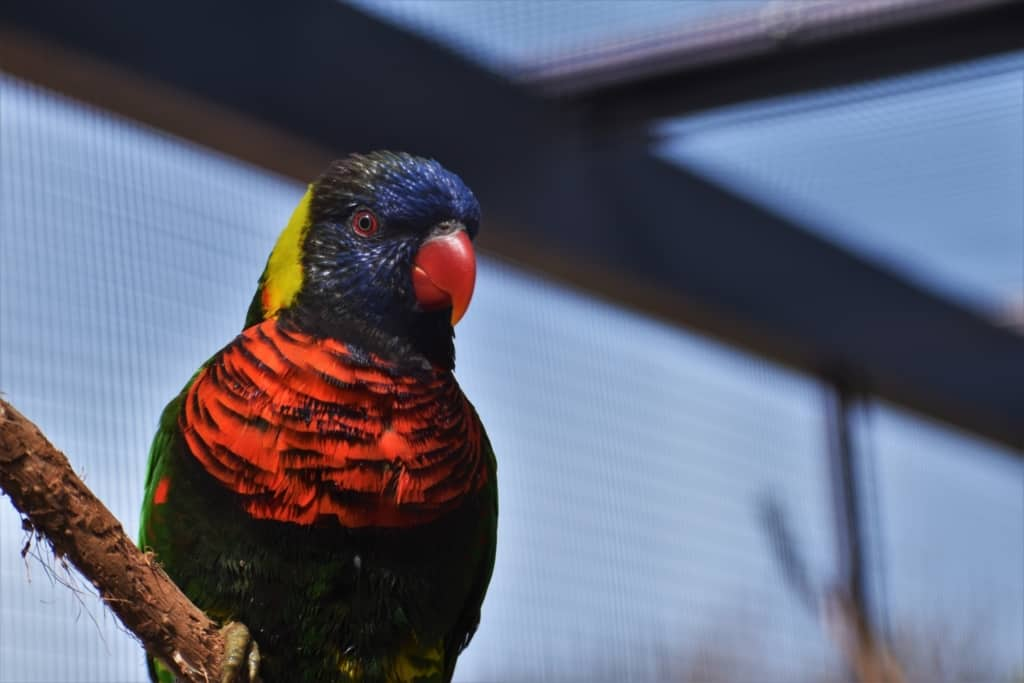 Lorikeets are beautifully decorated birds.