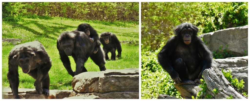 We watched as the chimpanzees moved toward us for a snack.