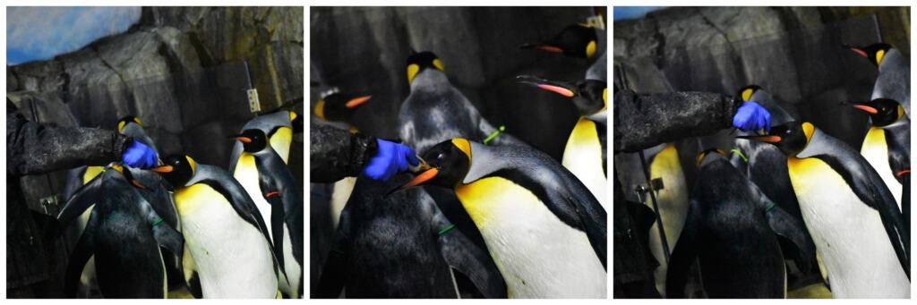 Feeding time at the Kansas City Zoo draws a crowd of penguins.
