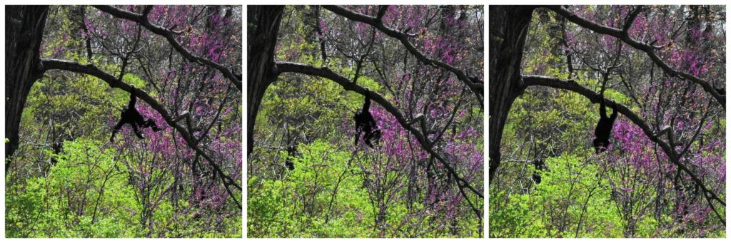 Our fresh look at the Kansas City Zoo helped us spot a young chimp exploring the trees in their enclosure.