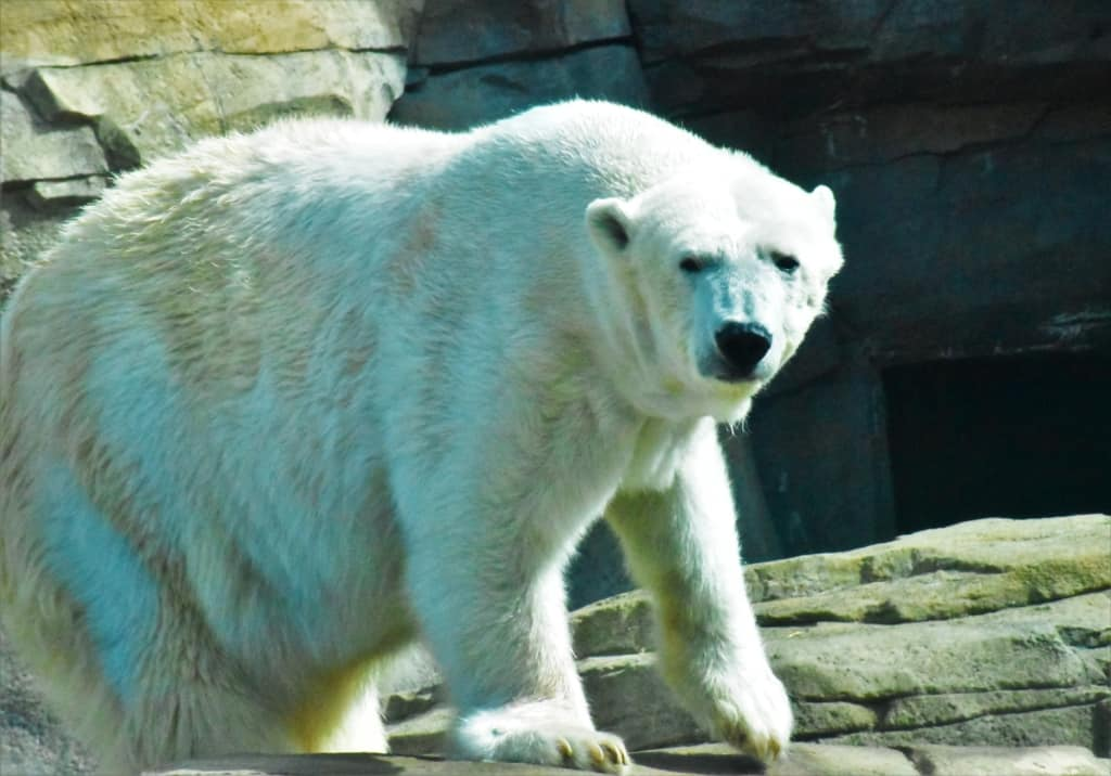 The polar bear was lively on the day we visited.