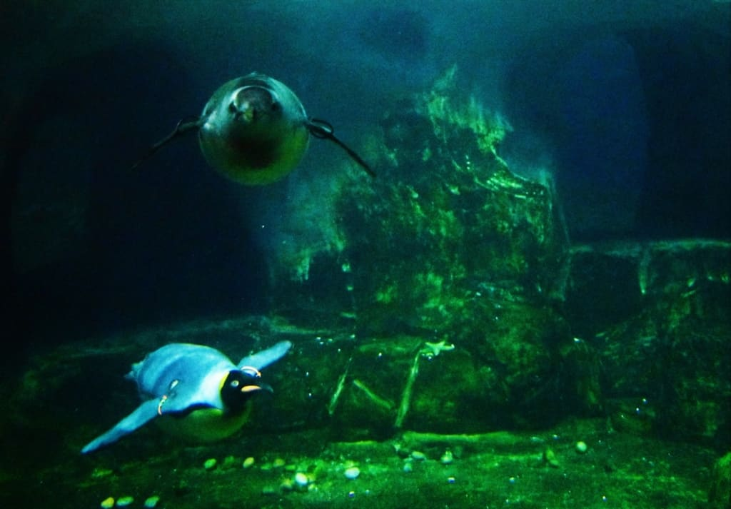 The penguins zip through the water at the exhibit in the Kansas City Zoo.