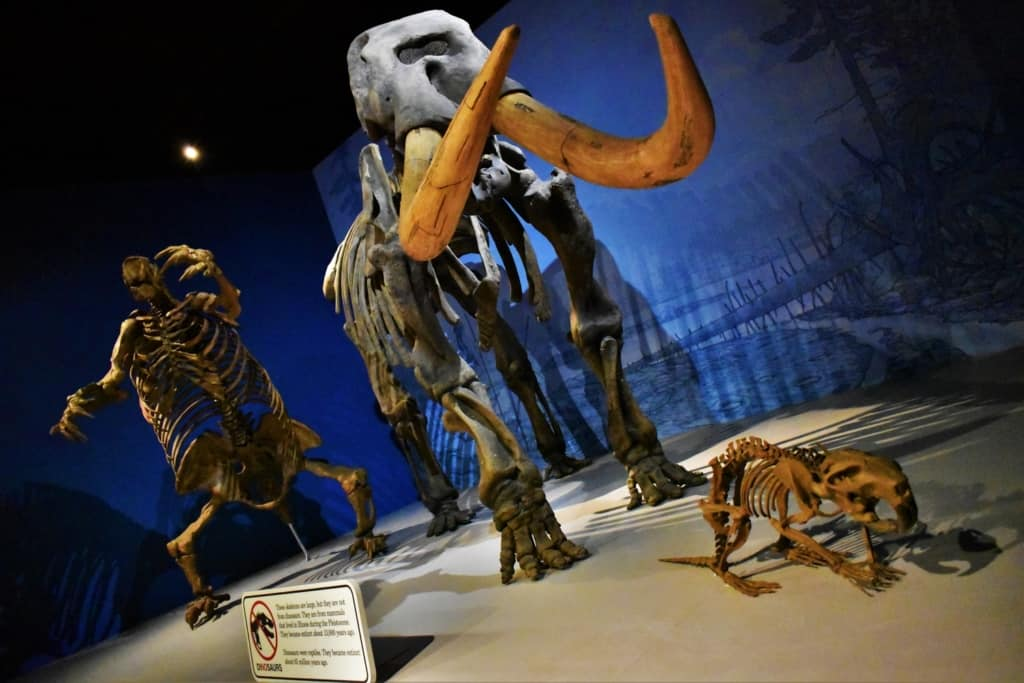 Skeletal remains show visitors just how large the early mammals were in Illinois.