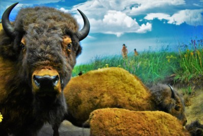 Buffalo were common creatures in the Illinois region during the days of Native Indian tribes.