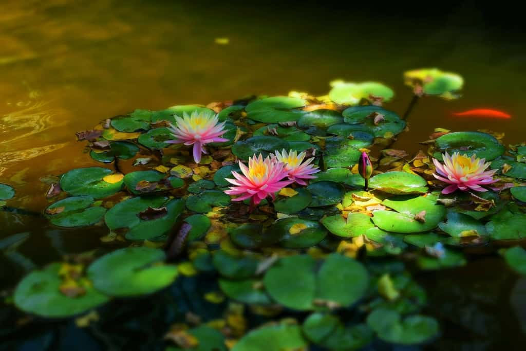 A water lily brings beauty to the landscape of the Amarillo Botanical Gardens, in Amarillo, Texas.