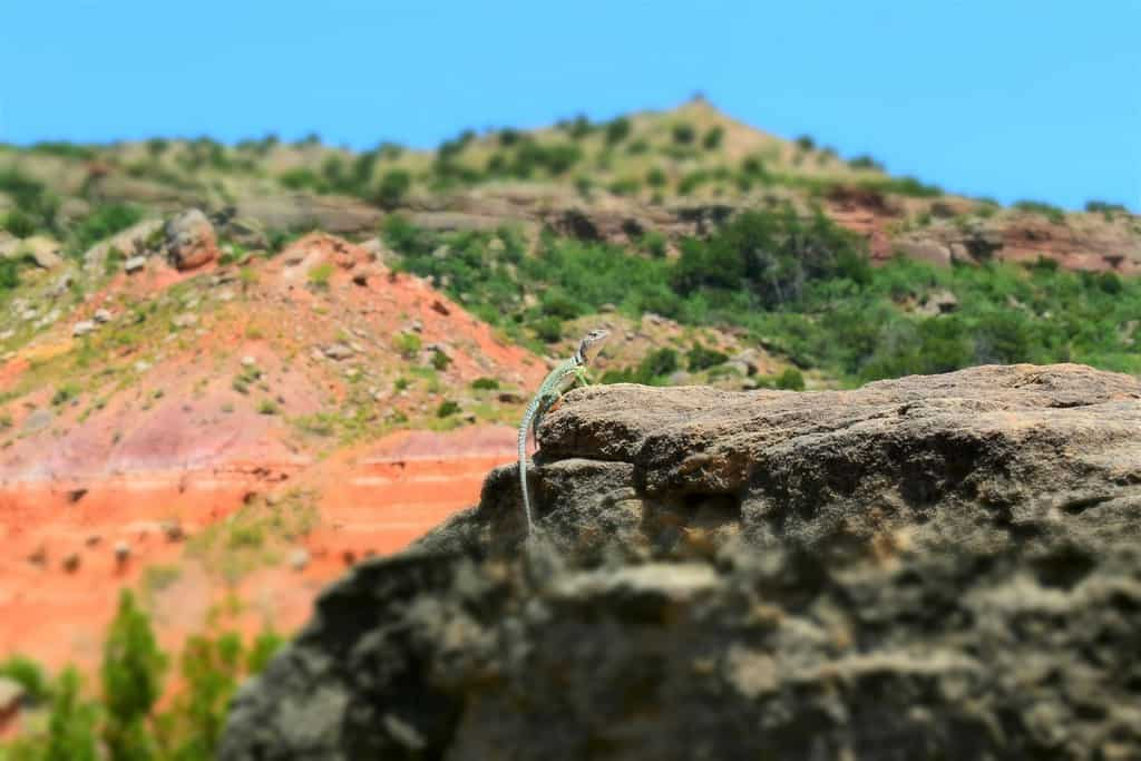 A local resident of the canyon poses for a photo, as it basks in the hot summer sun.