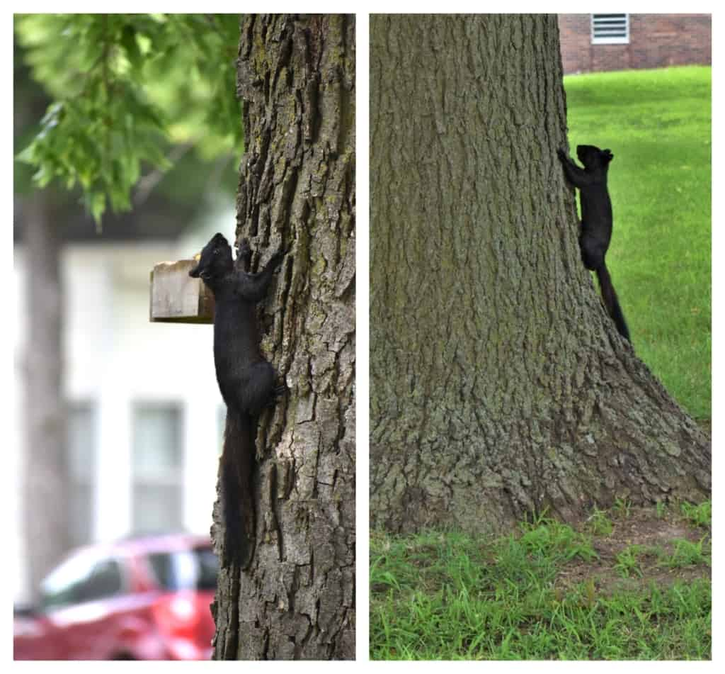 Our first black squirrel sightings had us giddy with excitement.
